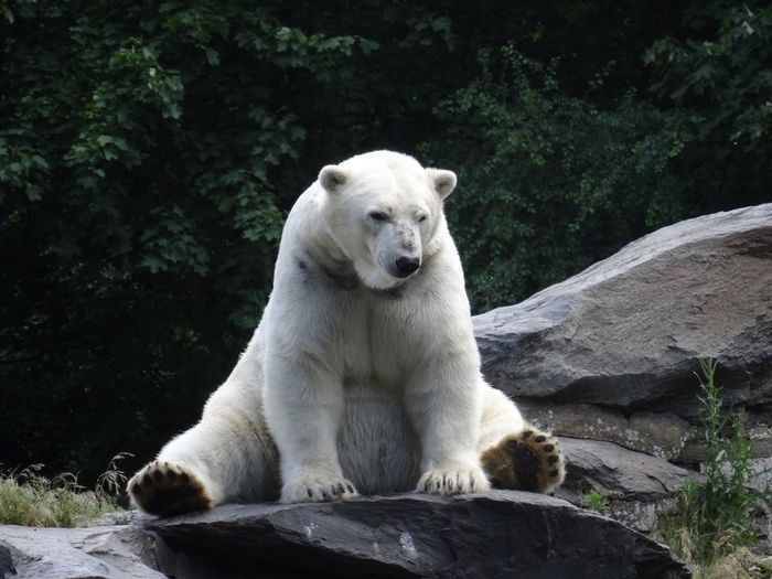 Polar bear sitting on rock
