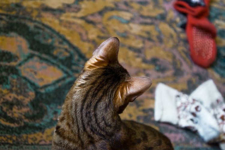 Bengal Cat Domestic Cat Looking Down Socks Color Scattered Mindfulness Indoors  Pet Photography  Cat Lovers Back To Camera Mammal Thoughtful Thoughts EyeEm Selects Pets Bird Close-up Tabby Cat Feline Cat At Home Visual Creativity