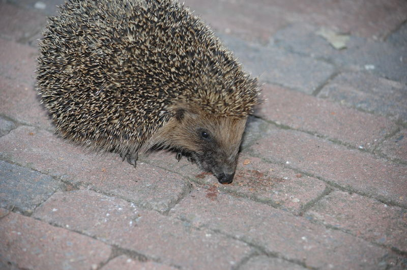 Animal Hair Animal Nose Animal Themes Animals In The Wild Close Up Day Egel Exploring New Ground Focus On Foreground Little Spiky One Mammal New Friend No People One Animal Outdoors Paving Stone Spiked Tail Wildlife Zoology