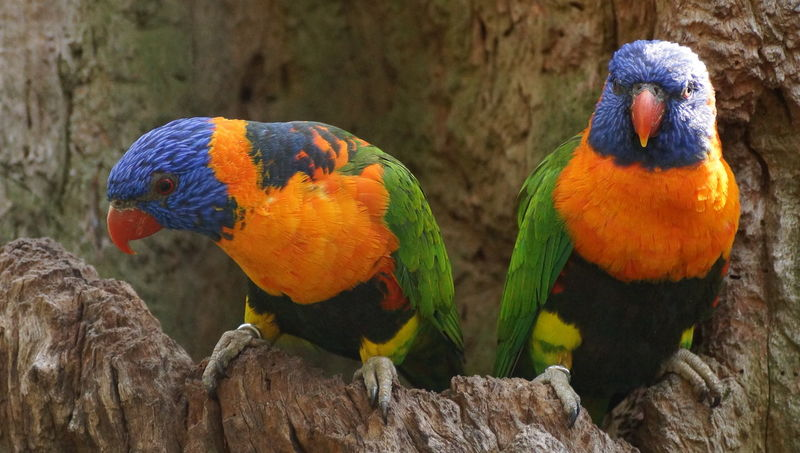 Animal Themes Animal Wildlife Animals In The Wild Bird Close-up Nature No People Rainbow Lorikeet Shyraphotography Two Animals Pet Portraits Mix Yourself A Good Time