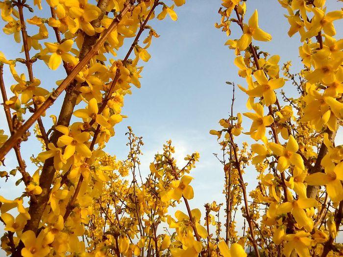 Forsythia × intermedia Forsythia Blooms Forsythienblüten Forsythia In The Sun Flower Rural Scene Yellow Plant Part Gold Colored Botany
