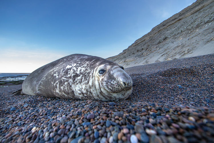 Seal relaxing at beach against sky during sunset