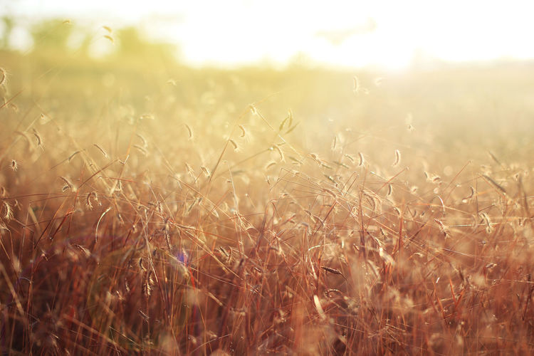 soft focus of grass field in the morning sun light Dreaming Effects & Filters Fieldscape Landscape_Collection Nature Photography Summertime Background Backgrounds Beauty In Nature Countryside depth of field Flarelight Flares In Nature Inspiration Landscape Outdoors Rural Scene Selective Focus Soft Focus Softness Summer Sunlight, Shades And Shadows Sunrise_sunsets_aroundworld Texture Warm Light