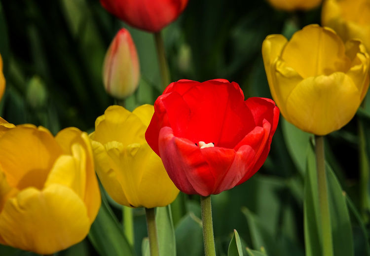 Red Tulip Flowering Plant Flower Petal Beauty In Nature Plant Tulip Flower Head Red Close-up Focus On Foreground Nature Field No People Growth Yellow Red Tulip