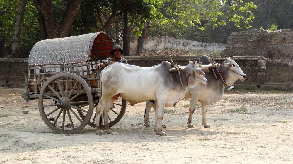 Myanmar Ox Cart