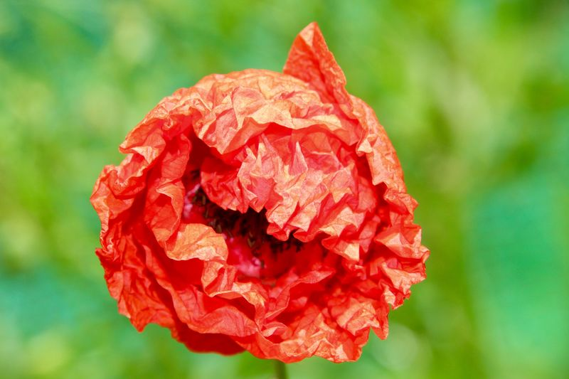 POPPY Canon Filigran Reflection Detail Blurred Background Close-up Blossom Seeds Seed Poppy Flowers Poppy Red Flower Flowering Plant Beauty In Nature Close-up Plant Petal Inflorescence Flower Head Fragility Freshness Focus On Foreground Growth Vulnerability  Nature Day No People Outdoors Plant Part