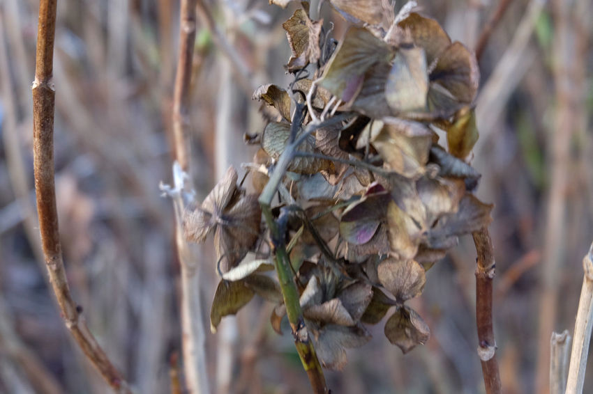 waiting for spring Beauty In Nature Close-up Day Dead Plant Dried Plant Dry Flower Flower Head Focus On Foreground Fragility Nature No People Outdoors Plant Wilted Plant