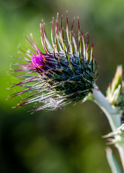 Plant Flower Flowering Plant Close-up Beauty In Nature Flower Head Thistle Purple Outdoors Fragility Thistle Flower Thistleheads Thistle And Weeds Cobweb Purple Flowers Purple Flower Flowering Thistle Vulnerability  Focus On Foreground Growth