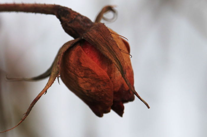 Close-up Day Dead Rose Dry Focus On Foreground Leaf Nature No People Outdoors Rabland,sudtirol Red Winter 2017
