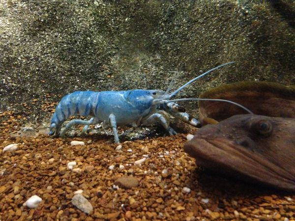 Blue lobster in water Animal Animal Wildlife Beauty In Nature Blue Lobster Close-up Day Dead Animal Ground Lobster Nature No People Outdoors Rock Rock - Object Stone - Object Wildlife Zoology
