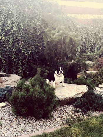 Dog Frenchbulldog Model Poser Happy Garden Chilling Old Lady