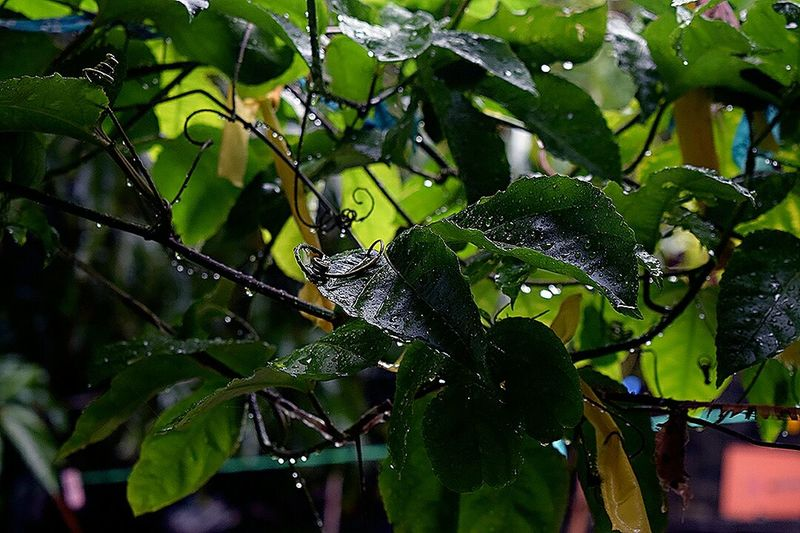 Low Angle View Leaf Tree Nature Green Color No People Branch Growth Outdoors Beauty In Nature Close-up Freshness Rain Drops Rainy Days☔ Tranquil Scene Up Closewith Nature Drop Of Rain Leaves🌿 Leaves And Droplets Freshness RainDrop Rainy Days☔ Green Color Purity Growth