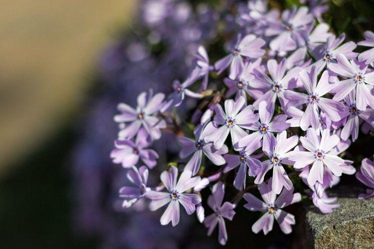 Flower 50mm Nifty Fifty Spring Flowers The Week On Eyem Showcase April Spring Purple Flowers Flowers
