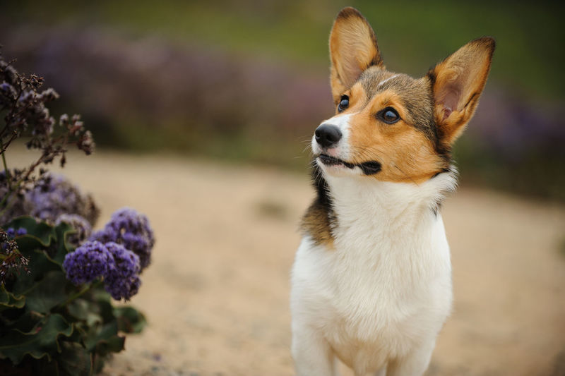 Dog looking away by flowers