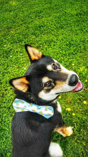 One Animal Domestic Animals Shiba Inu Shiba Inu LOVE Dogs Of EyeEm Bowtie Black And Tan Pets Dog Grass Green Color
