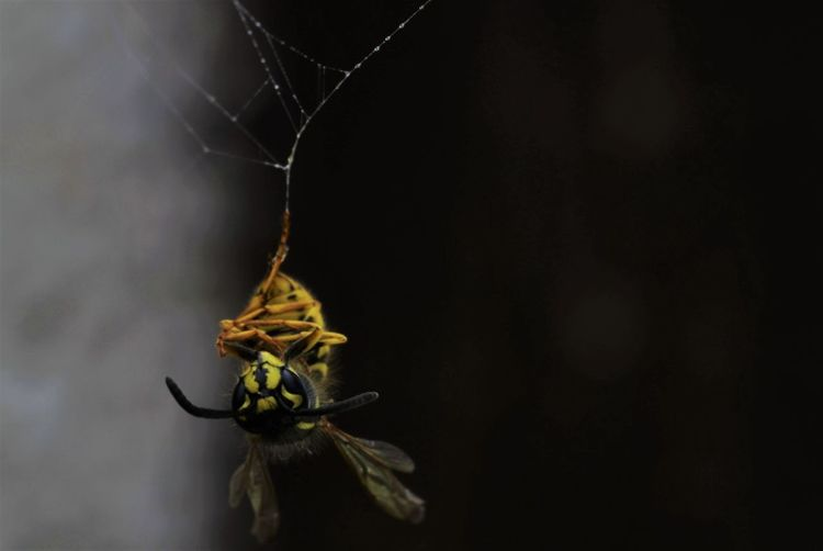 Close-up of hornet stuck on spider web