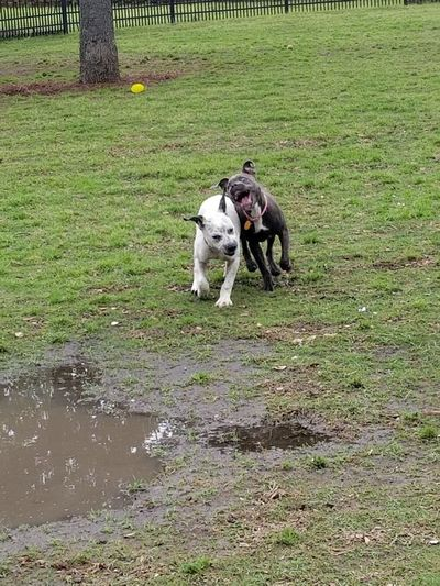 JuJuBeans and Her puppy sister LouLou Dogpark MudPuddles Muddy Grass Park Playing Puppies Of Eyeem Puppy Love Moments Silly Faces  Dogface Crazy Face Playing With My Dog Running Blackandwhite Puppyplaytime Pets Dog Grass Green Color Growing Toadstool Stalk Fungus Pet Collar Canine Pit Bull Terrier Grass Area Field Lily Pad