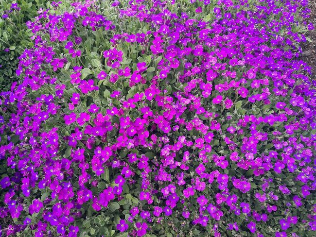 Backgrounds Full Frame Purple Flower Pattern Beauty In Nature Close-up Growth Nature No People Plants And Garden Garden Purple Flowers Spring Springtime Smartphone Photography P9 Huawei Spring Day Springtime Flowers Blooms Flowers, Nature And Beauty Botanic Garden Abundance Many Flowers A Lot Of Flowers