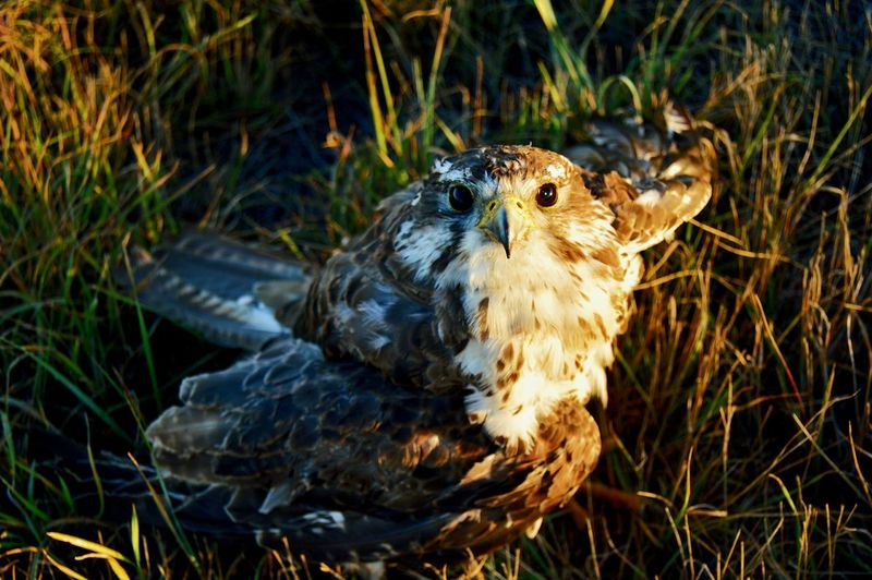 Wounded golden eagle West Of Lusk, Wyoming Shadow Sunshine Hurt Wing Can't Fly Bird Of Prey Close-up Grass Beak Animal Eye Feather  Eagle My Best Travel Photo