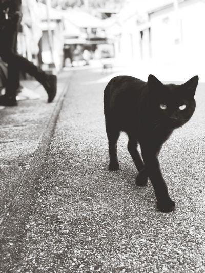 Portrait of black cat walking outdoors