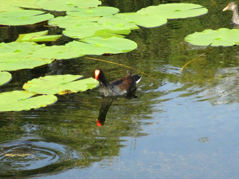 moorhen Water Animal Themes High Angle View Green Color Lake One Animal Animals In The Wild Nature Waterfront Outdoors Day No People Moorhen Afloat Floating On Water Freshness Lily Pad