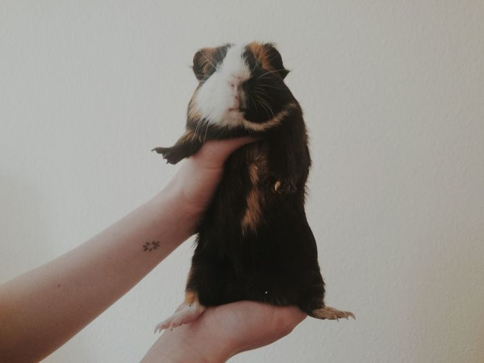 Cropped image of person holding guinea pig against white wall