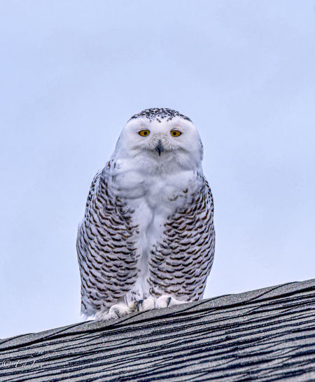 Low angle view of a snowy owl perching against clear sky