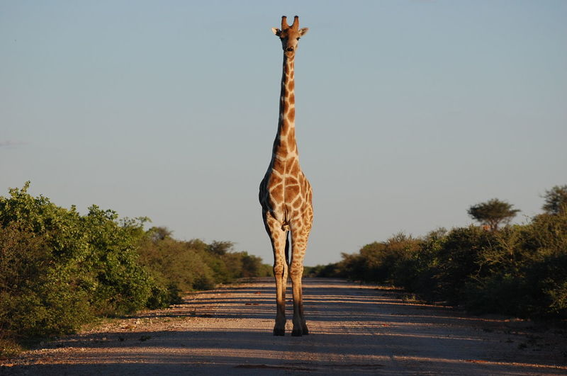 Giraffe Standing On Dirt Road Against Clear Sky