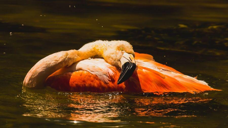 wildlife. Flamingo Water Bird UnderSea Swimming Lake Sea Life Close-up Closing Floating In Water Animal Eye Animal Head  Animal Body Part HEAD