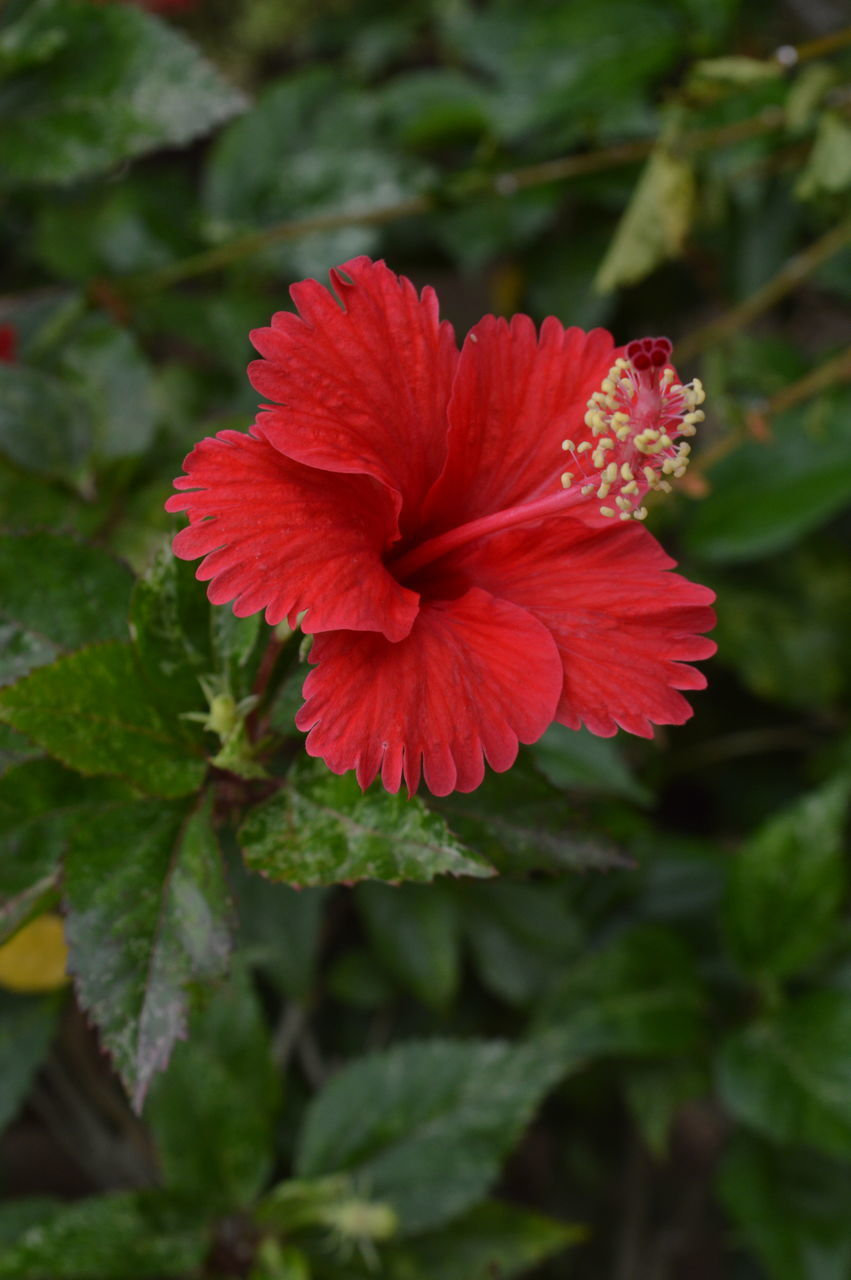 flowering plant, flower, plant, beauty in nature, red, fragility, vulnerability, growth, freshness, petal, flower head, close-up, inflorescence, nature, day, green color, plant part, no people, leaf, pollen