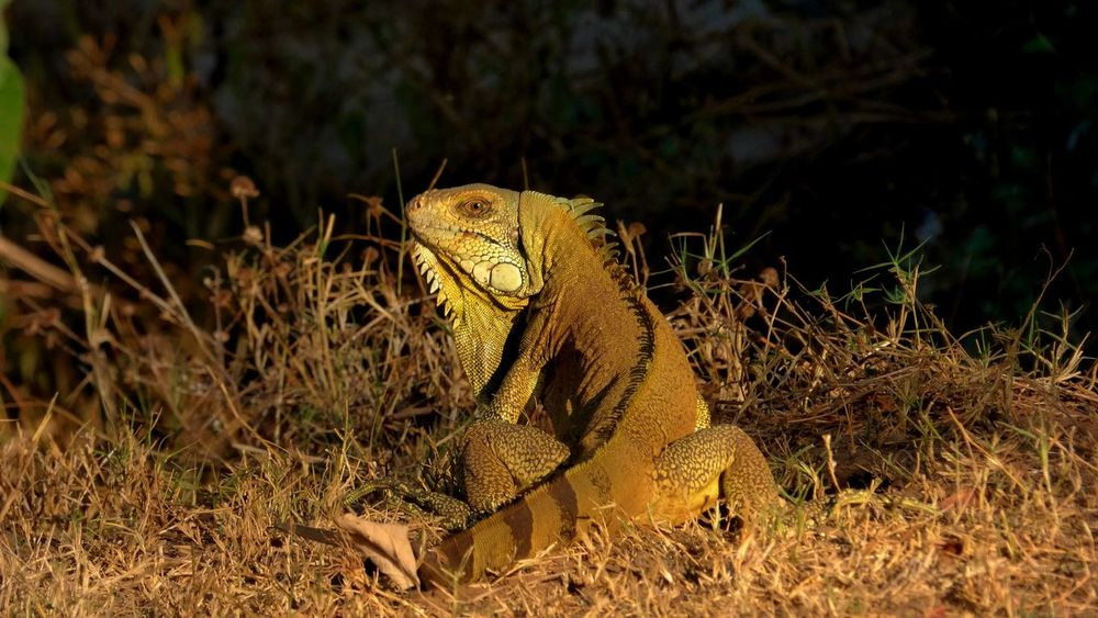 Iguana Animal Themes Animal Wildlife Animals In The Wild Goias Nature One Animal Reptile