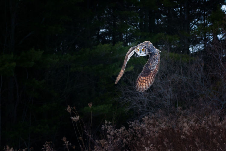 View Of Owl Flying