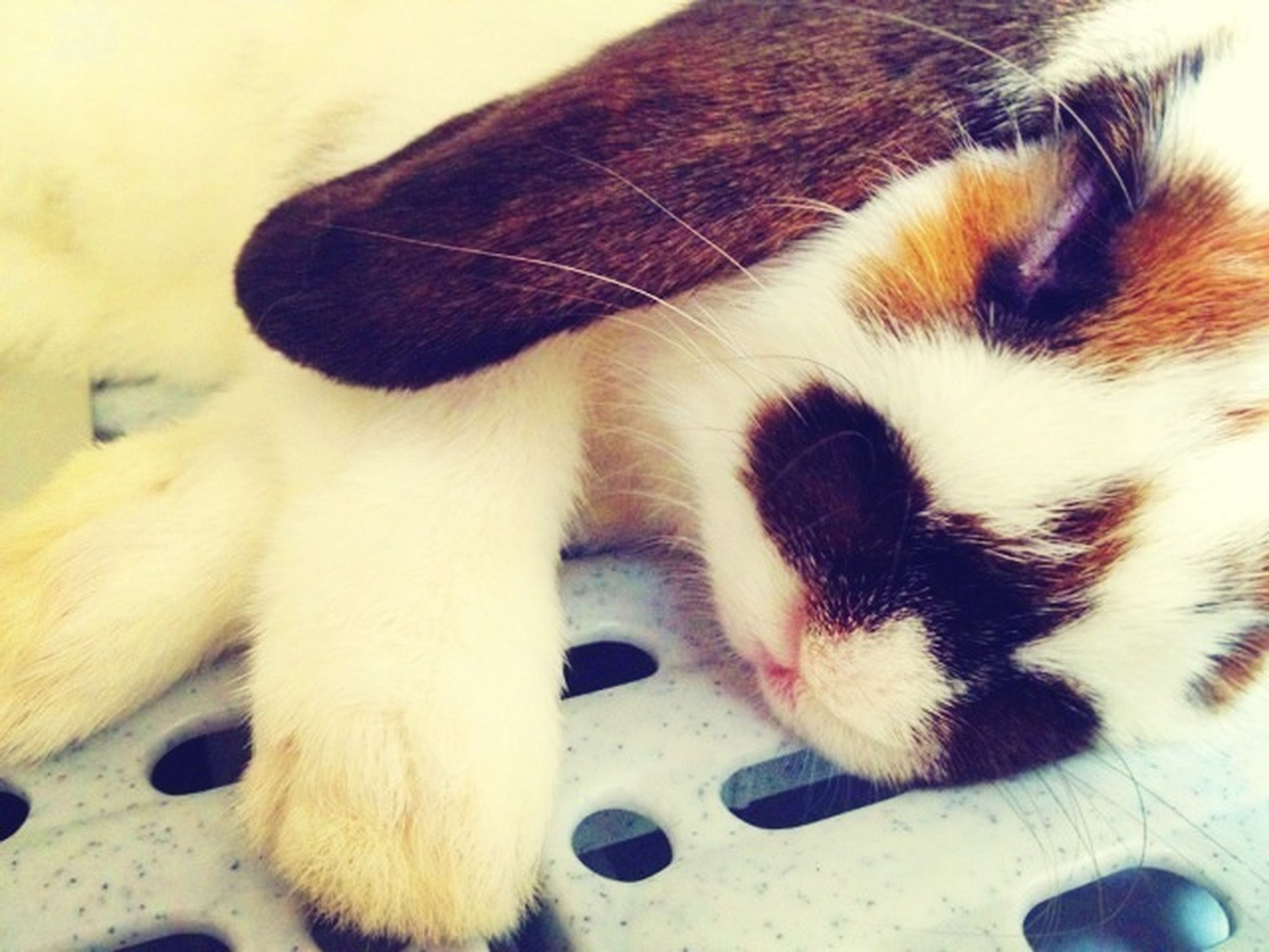 animal themes, domestic animals, one animal, mammal, pets, domestic cat, feline, cat, indoors, close-up, sleeping, whisker, relaxation, lying down, resting, eyes closed, animal head, animal body part, white color, no people