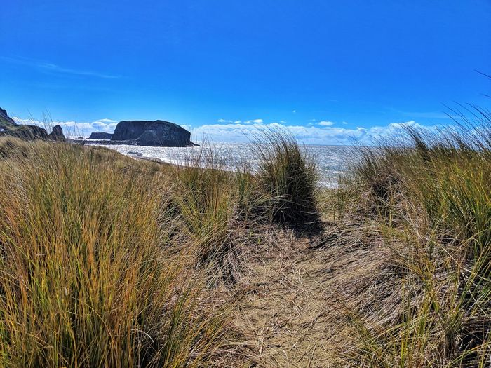 Tall sea grasses line path to ocean. Blue Clouds Grasses Golden Sand Dunes Pathway Walking Exploring Overlook Zen Soil Dirt Background Therapeutic Windy Sea Beach Sky Clear Sky Tranquil Scene Countryside Tranquility Ocean Sand Dune Scenics Horizon Over Water Calm Shore Idyllic Remote
