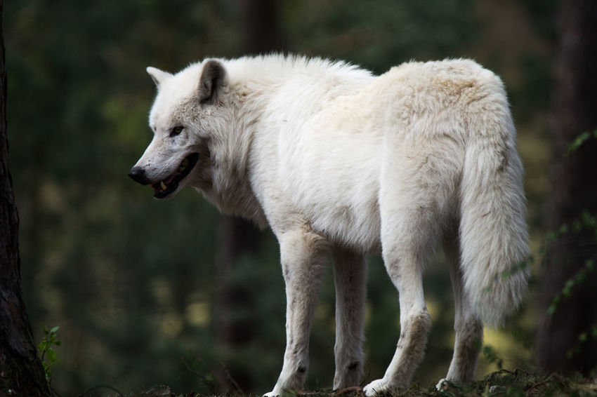 Animal Themes Animal Wildlife Animals In The Wild Day Focus On Foreground Mammal Nature No People One Animal Outdoors Polar Wolf White Color Wolf