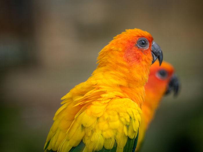 Close-up of sun parakeets looking away