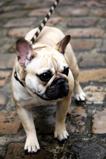 Close-Up Of French Bulldog On Footpath