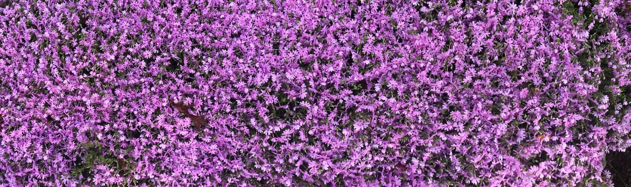 Purple ground cover Full Frame Backgrounds Purple No People Flowering Plant Pink Color Day Flower Textured  Vibrant Color Plant Beauty In Nature
