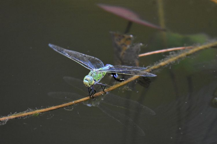 Close-up of dragonfly on a lake