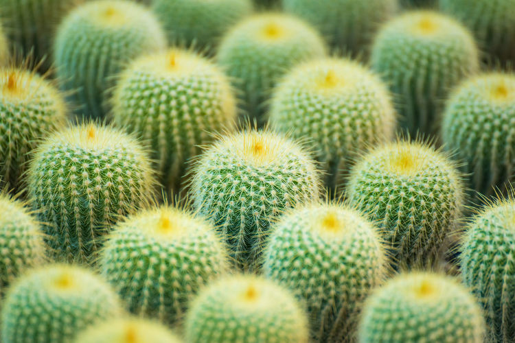 Group of small cactus plant in the pot at cactus garden.Thailand Abundance Backgrounds Barrel Cactus Beauty In Nature Cactus Close-up Day Full Frame Green Color Growth Large Group Of Objects Natural Pattern Nature No People Outdoors Plant Sharp Spiked Spiky Succulent Plant Thorn