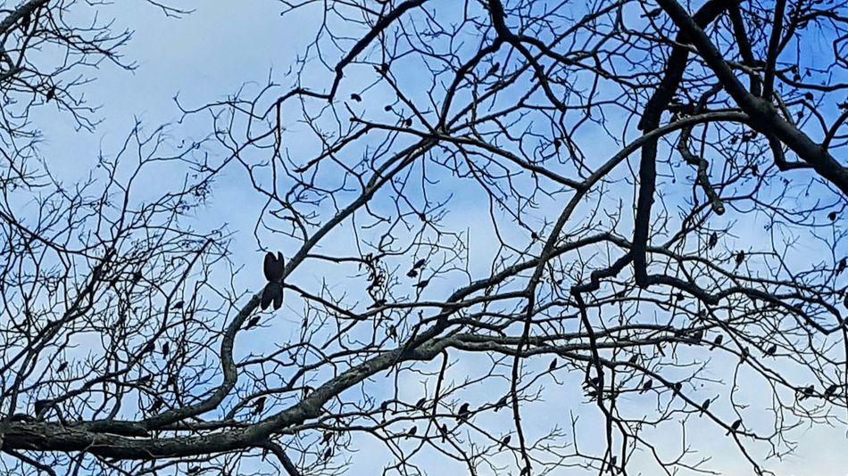 Pecan Trees Blackbirds And Cloudy Sky Bare Branches Blackbirds