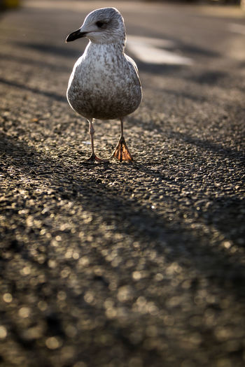 Close-up of seagull on road
