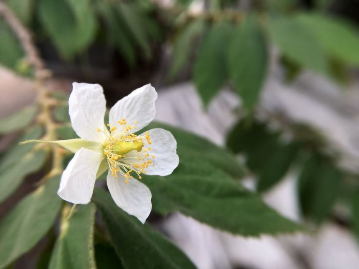 Muntingia calabura flower in nature garden Muntingia Calabura Beauty In Nature Beauty In Nature Blooming Close-up Day Flower Flower Head Fragility Freshness Green Color Growth Jamaican Cherry Leaf Nature No People Outdoors Petal Plant Pollen White Color