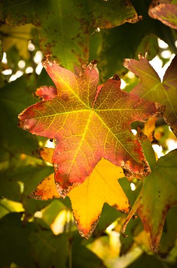 Amazing fall red and yell colors. Leaf Autumn Nature Change Maple Leaf Close-up Outdoors Maple No People Day Beauty In Nature Leaves Fall Beauty Fall Colors Amazing Color Tree Leaves🌿 Getting Inspired Getty United States Winnetka California San Fernando Valley Nikon