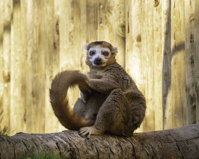 Vertebrate Tree Sitting Mammal Animal No People Looking Lemur