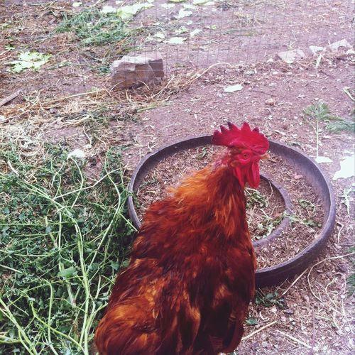russian chicken????