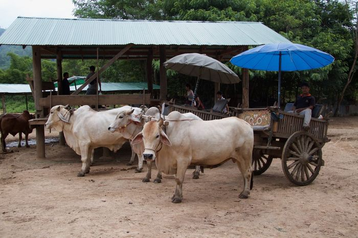 Agriculture Animal Themes Boeing Charette Chiang Mai | Thailand Domestic Animals Thailand Tourist Attraction
