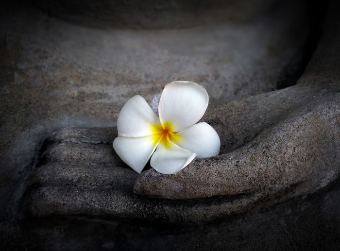 High angle view of white frangipani on rock