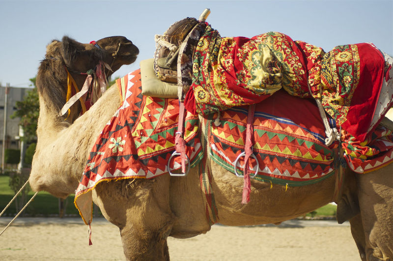 Working Camel in India Colourful India Indian Culture  Blanket Camel Camel Riding Camels Domestic Animals Indian Blanket Livestock Mammal Nature No People One Animal Outdoors Sky Travel Destinations Working Animal Working Camel