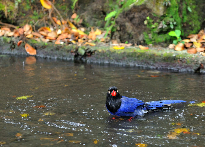 Taiwan blue magpie blue bird is Taiwan's unique birds Attention Bathing Blue Bird Especially Taiwan Taiwan Blue Magpie Animal Themes Animal Wildlife Animals In The Wild Beauty In Nature Bird Close-up Day Lake Nature No People Observed One Animal Outdoors Stay Swimming Wait And See Water Waterfront